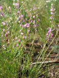 Astragalus tenuifolius