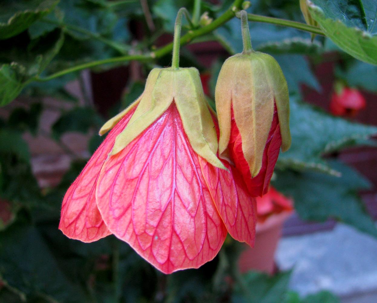 Комнатный клен абутилон: фото, выращивание из семян 81