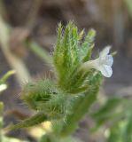 Lycopsis