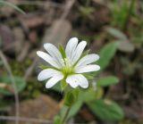 Cerastium brachypetalum ssp. tauricum