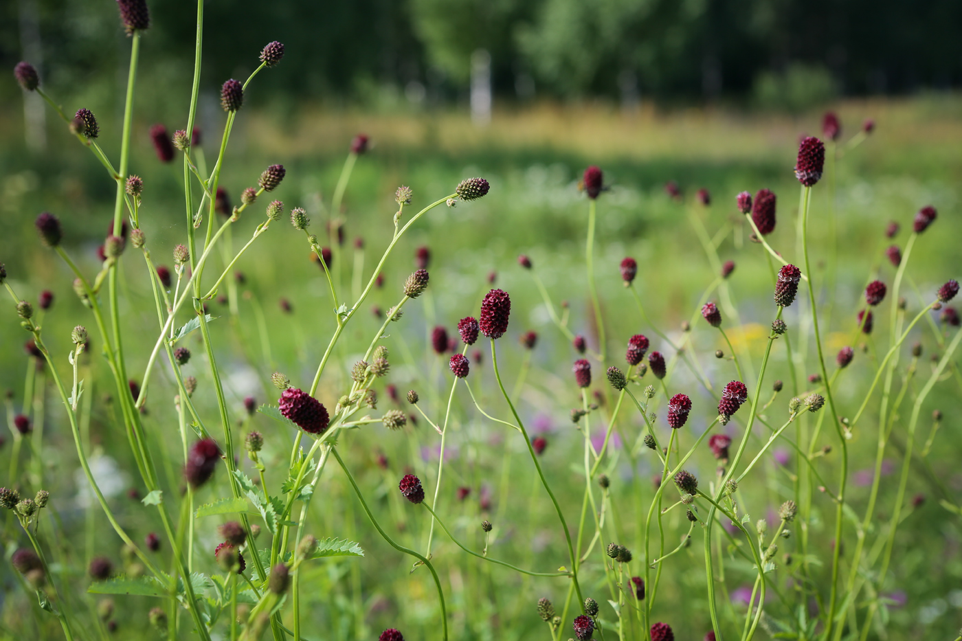 Травы в картинках пермского края