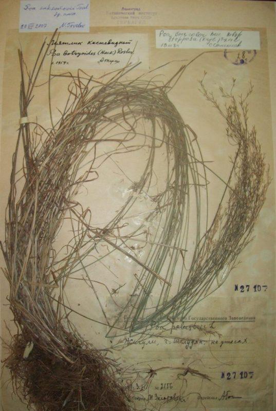 Изображение растения Poa saksonovii.
