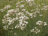 Gypsophila collina