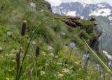 Carex caucasica