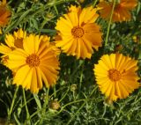 род Coreopsis