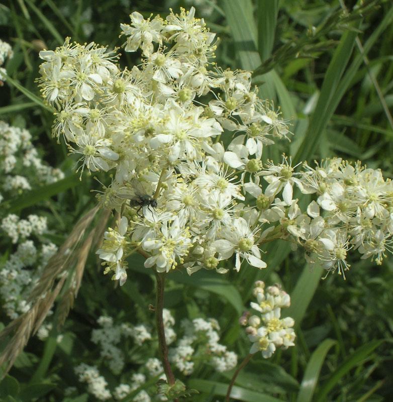 Лабазник обыкновенный (Filipendula vulgaris). Автор фото: Олег Селиверстов
