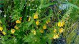 Rhynchocorys orientalis