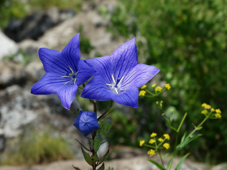 сливочное цветок платикодон фото медики