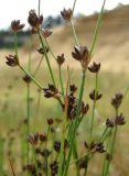 Juncus alpino-articulatus