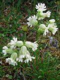 Silene paucifolia