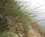 Ephedra arborea