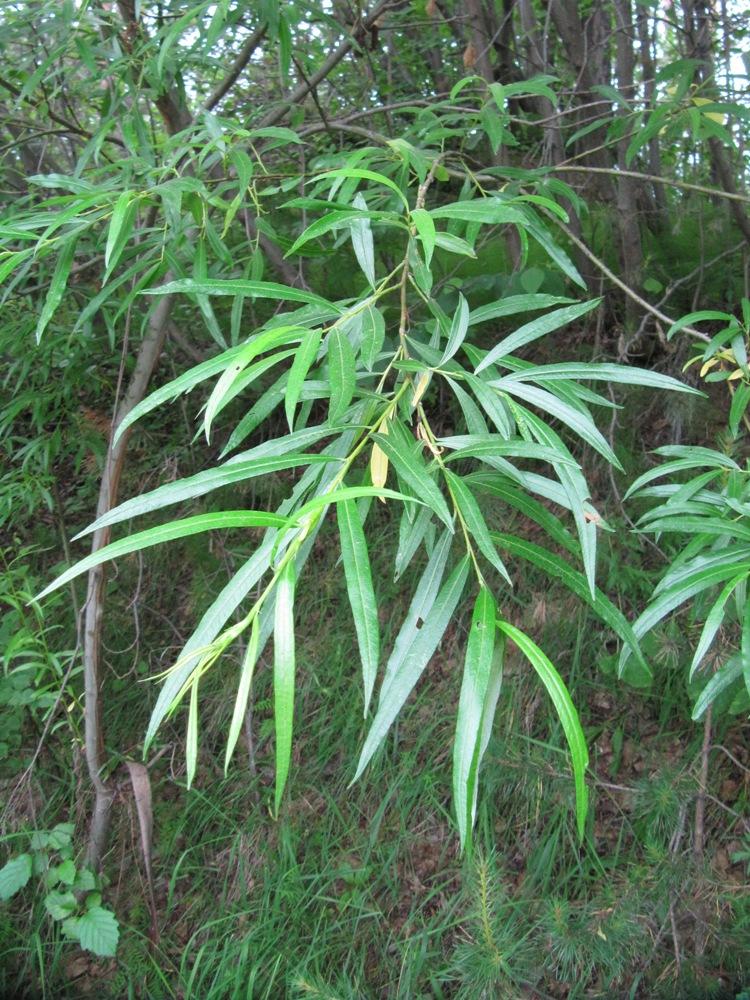 Ива прутовидная - Salix viminalis - Изображение растения - Плантариум
