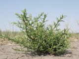 Salicornia perennans