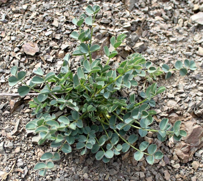 Изображение растения Astragalus kjurendaghi.