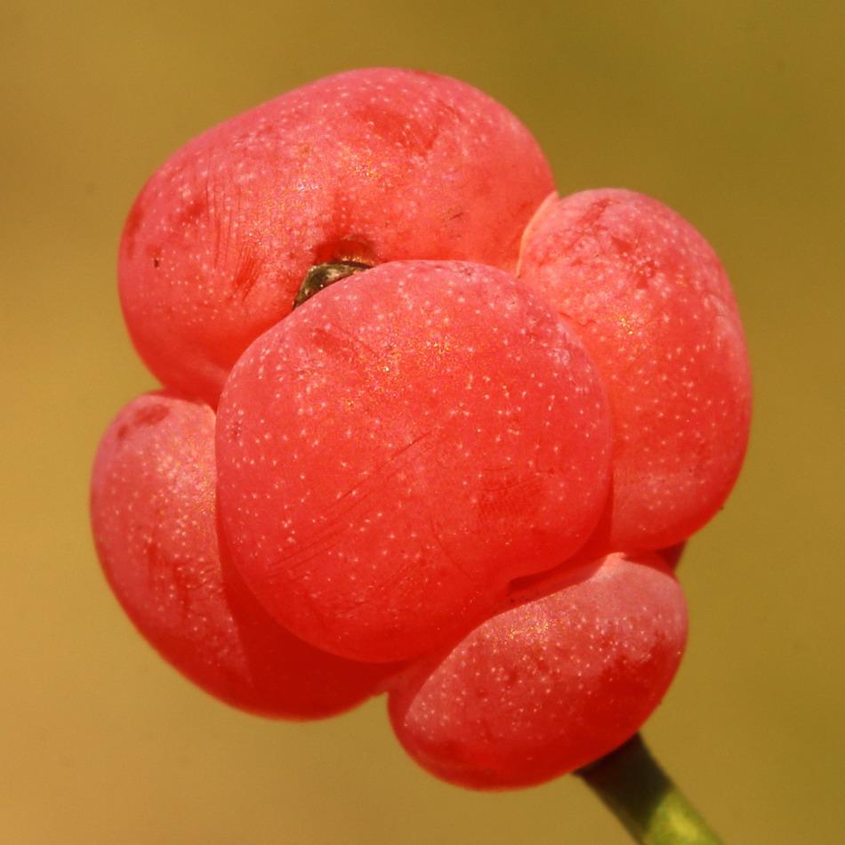 Хвойник двухколосковый (Ephedra distachya)