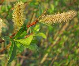 Salix × meyeriana