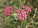 Achillea × illiczevskyi