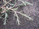 Petrosimonia triandra