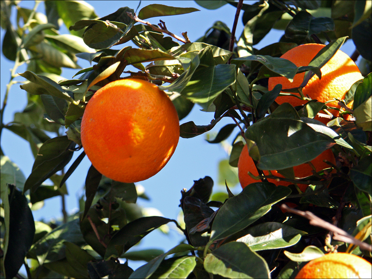 citrus sinensis for mosquito Herbal mosquito repellents validated by a study published in parasitology research explored the effects of orange peel ethanol extract of citrus sinensis.