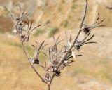 Arnebia decumbens