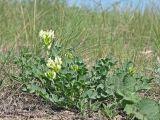 Astragalus calycinus