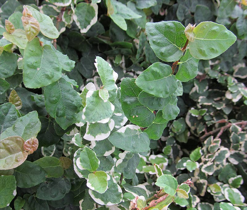http://www.plantarium.ru/dat/plants/2/209/189209_a3c1ea1e.jpg