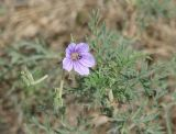 Erodium stephanianum