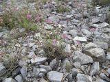 Allium globosum