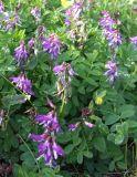 Astragalus subpolaris