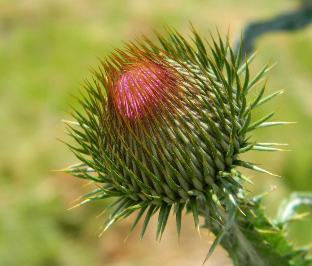 растение татарник