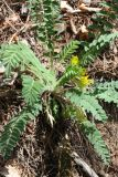 Astragalus kungurensis