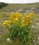 Solidago jailarum