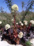 Hylotelephium caucasicum