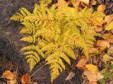 Gymnocarpium jessoense