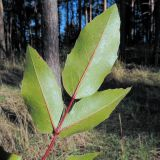 Mahonia aquifolium