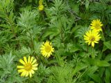 Arnica unalaschcensis