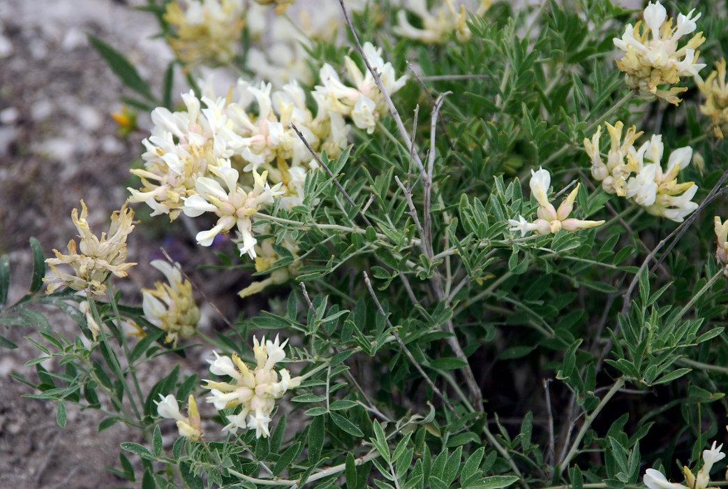 Изображение растения Astragalus albicaulis.