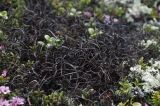 Gowardia arctica