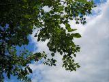 Populus × canescens