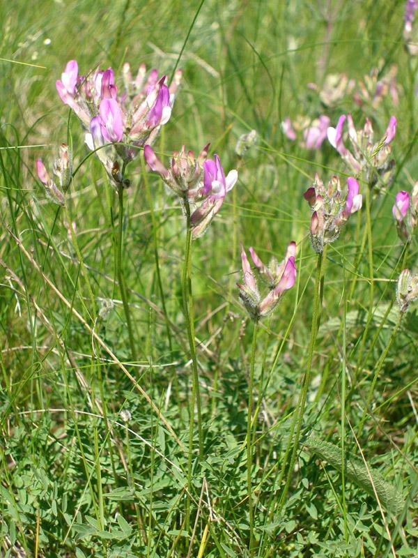 Изображение растения Astragalus macropus.