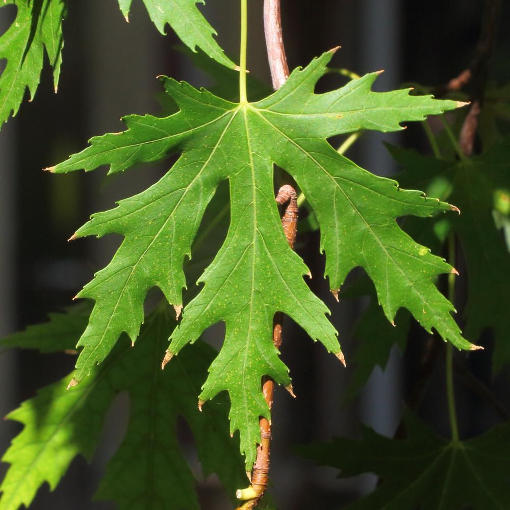 Клён серебристый (Acer saccharinum)