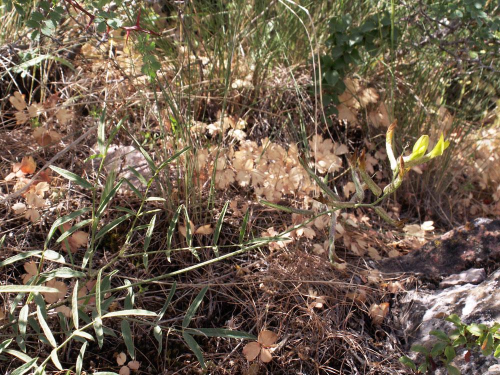 Изображение растения Astragalus lorinserianus.