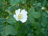 Rosa subcanina