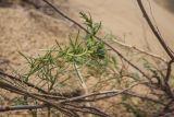 Artemisia tschernieviana