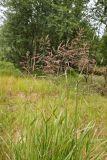 Calamagrostis phragmitoides