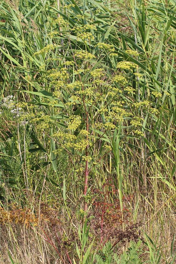 Златогоричник эльзасский (Xanthoselinum alsaticum)