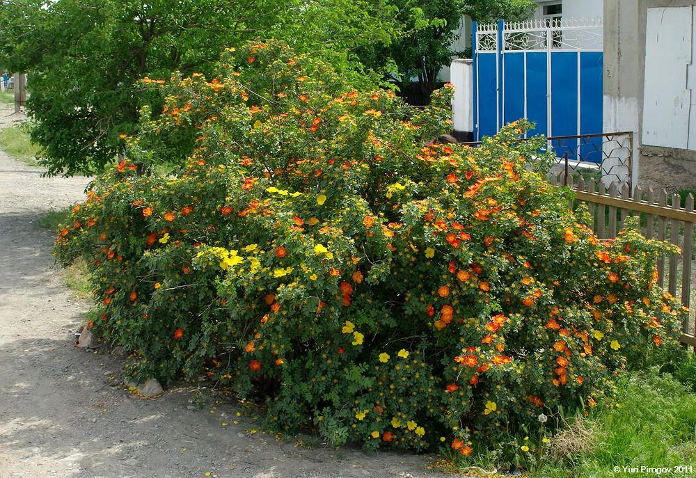 южные кустарники цветущие фото узнать отзывы ГАЗ
