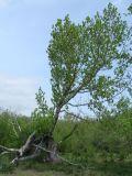 Populus suaveolens