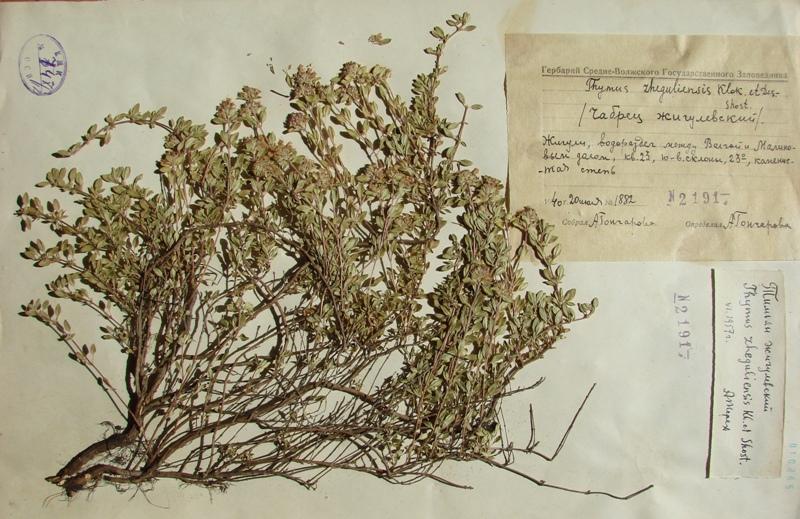 Изображение растения Thymus zheguliensis.