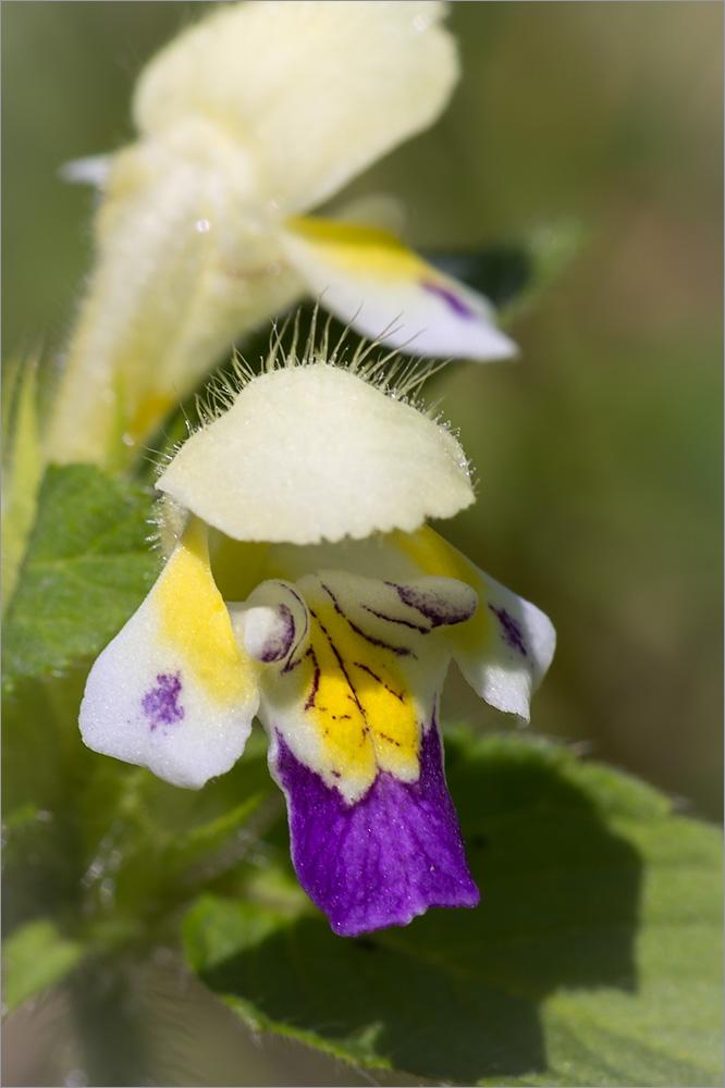 Пикульник красивый (Galeopsis speciosa) Автор фото: Мария Новикова